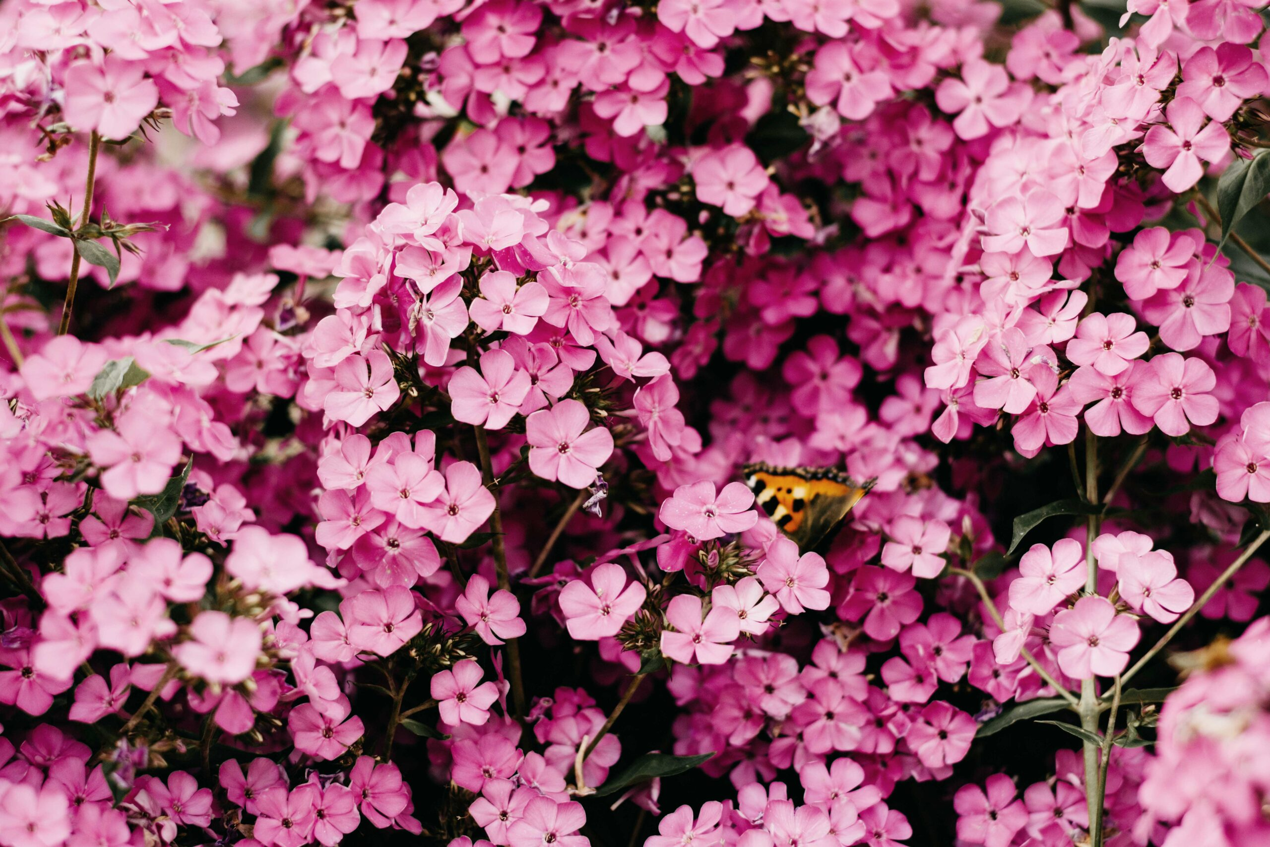 Pinke Blumen mit Schmetterling