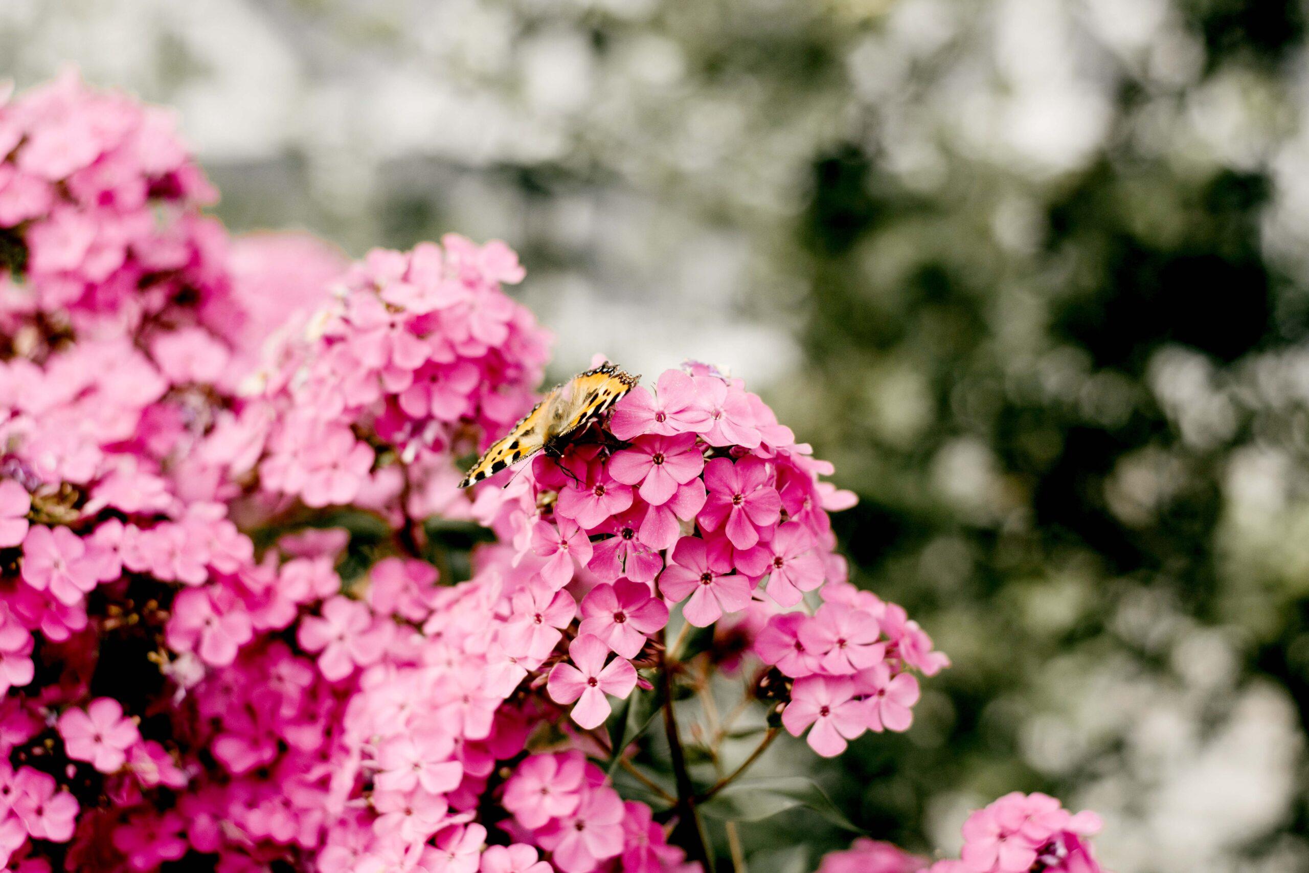 Pinke Blumen mit Schmetterling_2