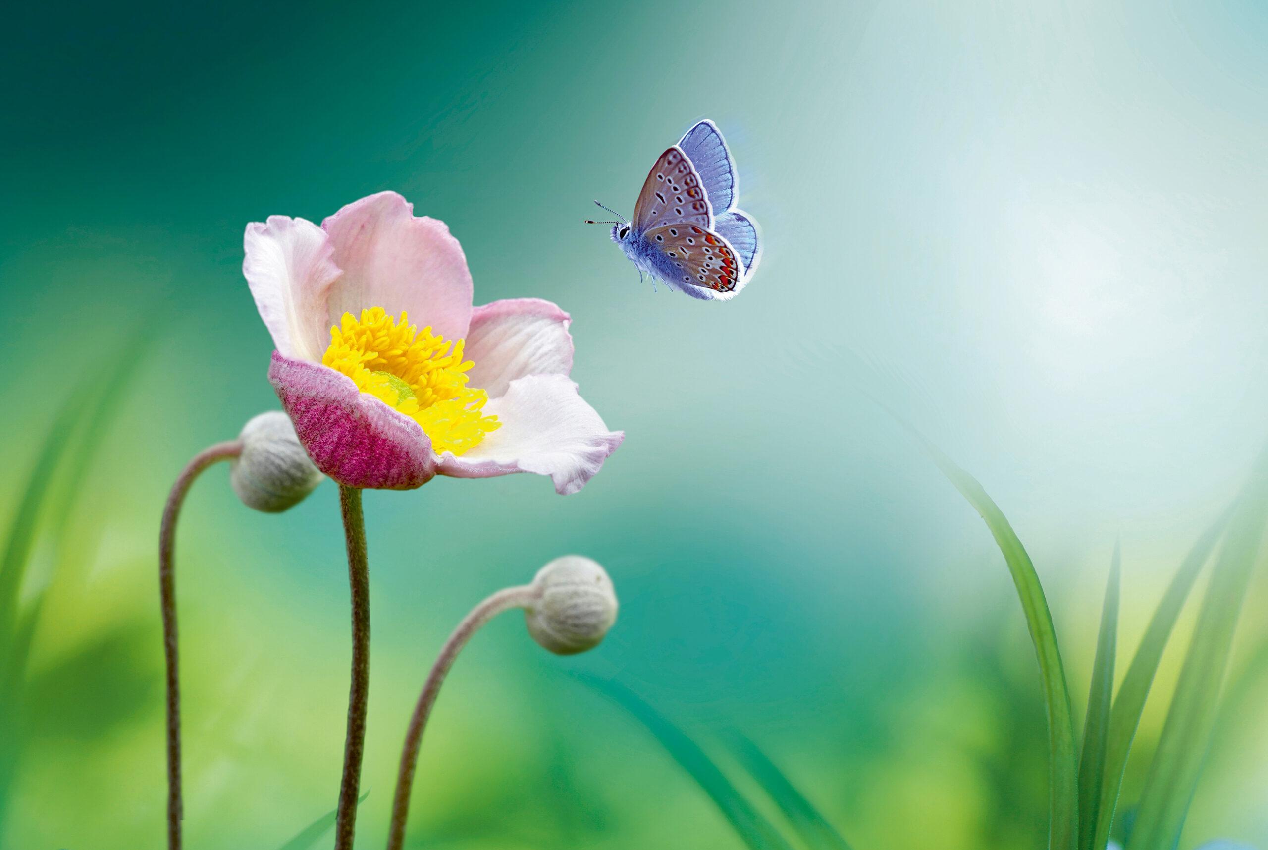 Schmetterling über Blume
